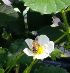 イチゴ狩りのミツバチ