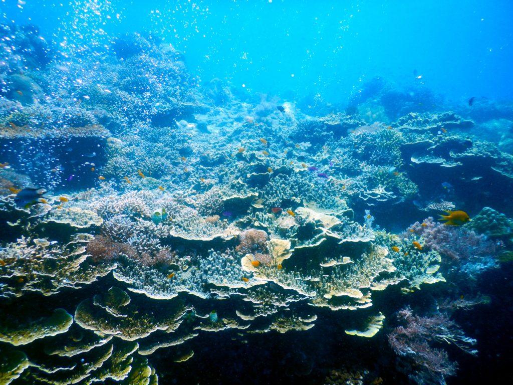 沖縄の海のサンゴ