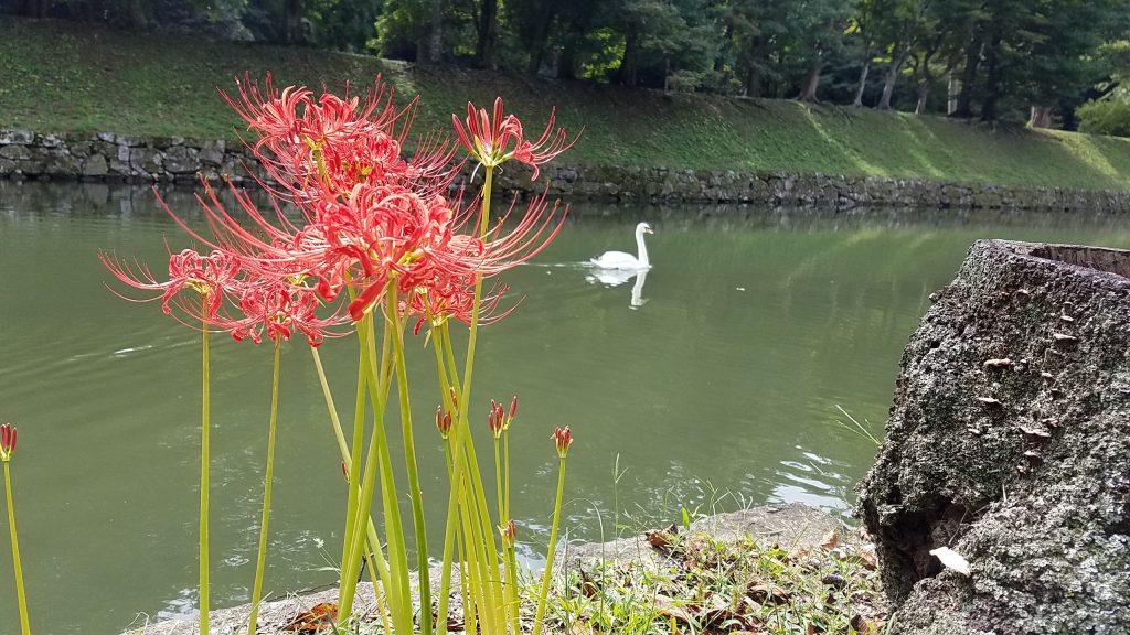 彼岸花と白鳥